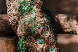 tail of a blue peacock. feathers peacock background in sunshine