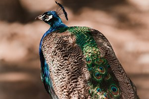 Portrait of a beautiful male peacock. Peahen walking on brown ground in a zoo
