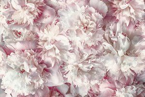 Pink pale peonies bloom and petals