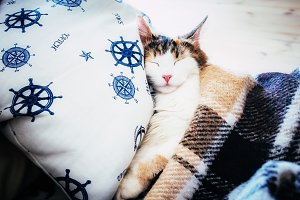 Cute caloco cat lying in bed under a blanket.