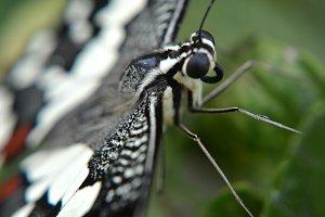 Black Butterfly Closeup