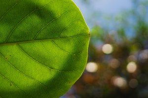 green leaf with sun