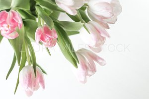 Pink and White Tulips Stock Photo