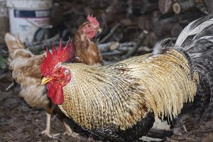 Roosters and chickens on the farm.