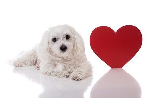 dog with red Valentine heart