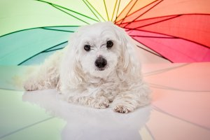 dog with rainbow umbrella