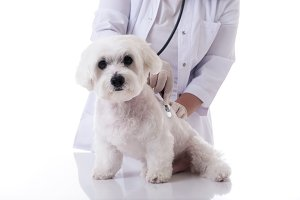 veterinarian examining a maltese dog