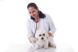 veterinarian examining a cute maltes