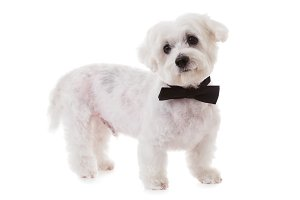 maltese dog with bow tie