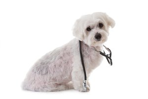 maltese dog with a stethoscope