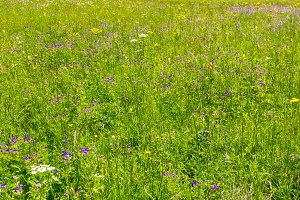 Alpine meadow with wildflowers
