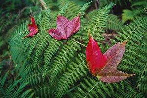 beautiful maple leaf