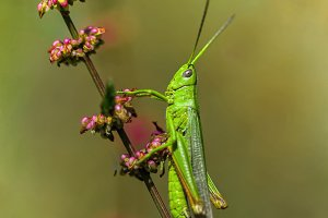 Green Grasshopper on branch