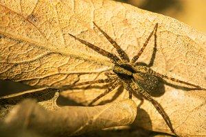 spider on dry leaf macro