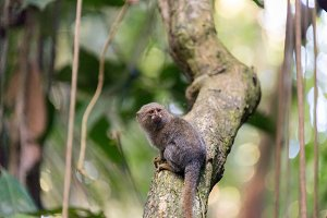Pygmy Monkey