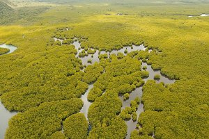 Mangrove forest in Asia. Philippines Siargao island.