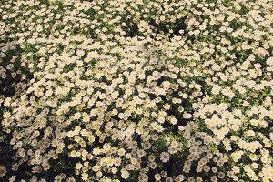 Chamomile plant