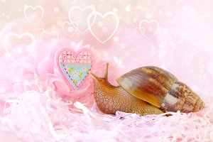 snail Achatina and the heart