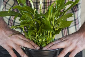 Man planting a calla flower plant