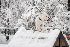 White dog on white snow background