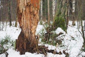 Rotten broken tree in the woods