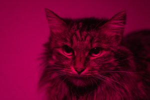 Portrait of a cat in a red light showing the aggressive nature animal