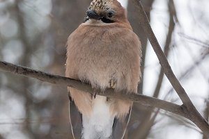 jay on a branch
