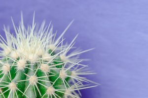 Cactus on the purple background