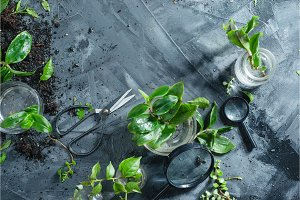 Green plants in glass jars on a concrete background with gardening scissors and soil from above. Spring planting concept with copy space. Botanical still life.