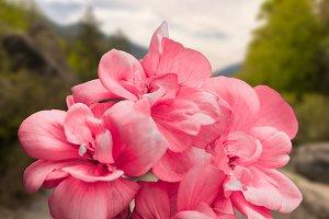 A geranium