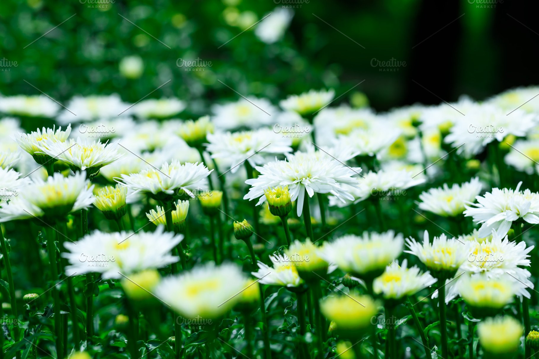 White Chrysanthemums Flowers High Quality Nature Stock Photos