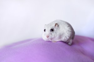 White hamster on violet fabric