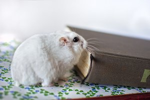 Hamster playing between books.