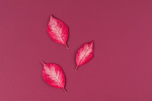 pointsettia leaves