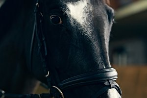 Dark bay horse portrait
