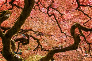 Red Japanese Maple Tree