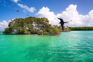 Frigatebirds and Mangroves