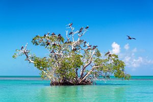 Mangrove Tree and Frigatebirds