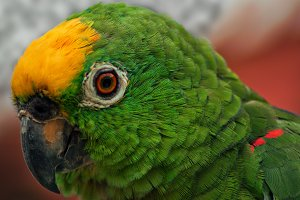 Closeup of  Green Parrot