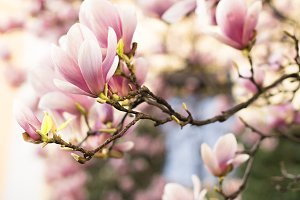 Beautiful magnolia flowers
