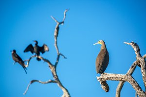 Bare Throated Tiger Heron and Other