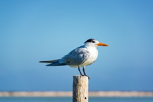 Royal Tern on a Post