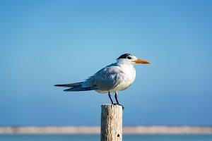 Royal Tern on a Post