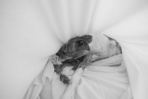 Greyhound sleeping