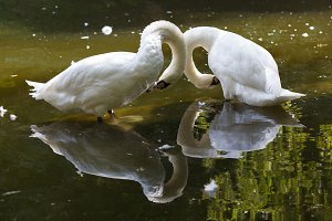 Two swans clean feathers on water