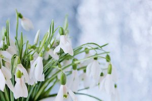 spring flowers snowdrops on a light background. space for copy space.