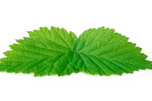 Young raspberry leafs isolated