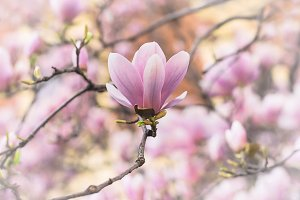 Beautiful pink magnolia