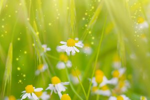 Chamomile Spring  flowers
