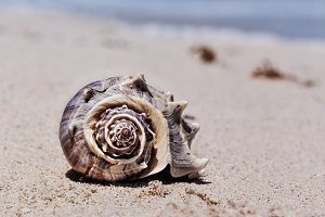Tropical Shell On The Sandy Beach